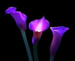 cala liliesl