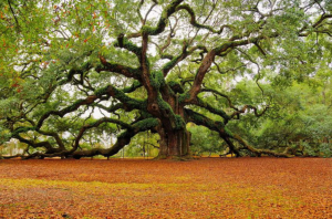 Angel Oak John Island, SC