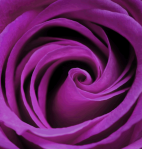 prple rose