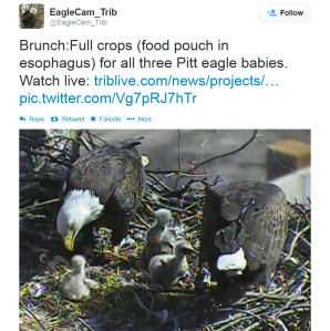 pittsburgh eaglets III
