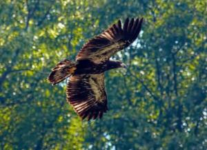 pittsburgh eaglets VII