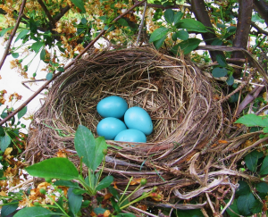 robins eggs
