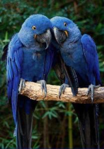 blue-parrots