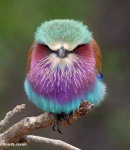 lilac-breasted-roller-i